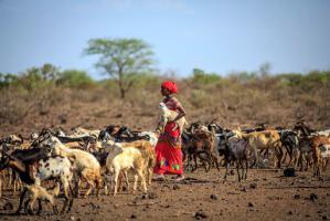 Ethiopia launches livestock identification, traceability system