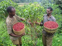 Ethiopia to triple coffee production