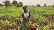 Irrigation doubles African food production