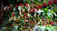 Ethiopia's export income declines 9 percent