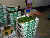 Avocado set to become Ethiopia's major export
