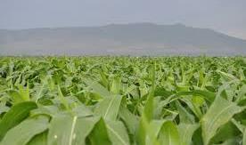 Ethiopia, Kenya to explore grain trade opportunities