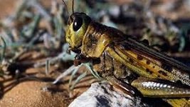 Ethiopia to host agriculture ministers' forum on locust outbreak