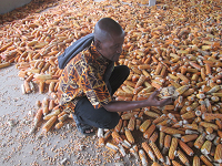 Africa loses millions of dollars to aflatoxins