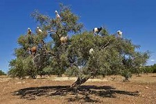 Morocco, UN celebrate first-ever international Argan Tree Day